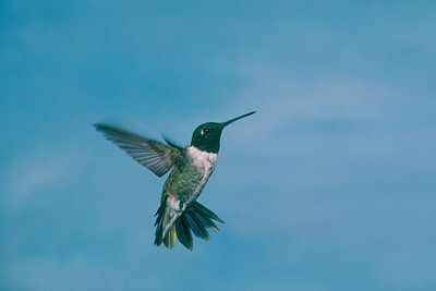 Black-chinned Hummingbird, male - Ramsey Canyon, Arizona