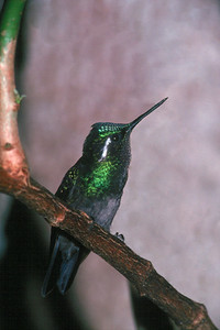 Purple-throated Mountain Gem, male - Monteverde Cloud Forest, Costa Rica