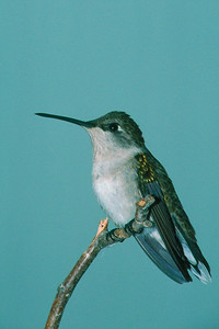 Ruby-throated Hummingbird, female - Pittsburgh, Pennsylvania