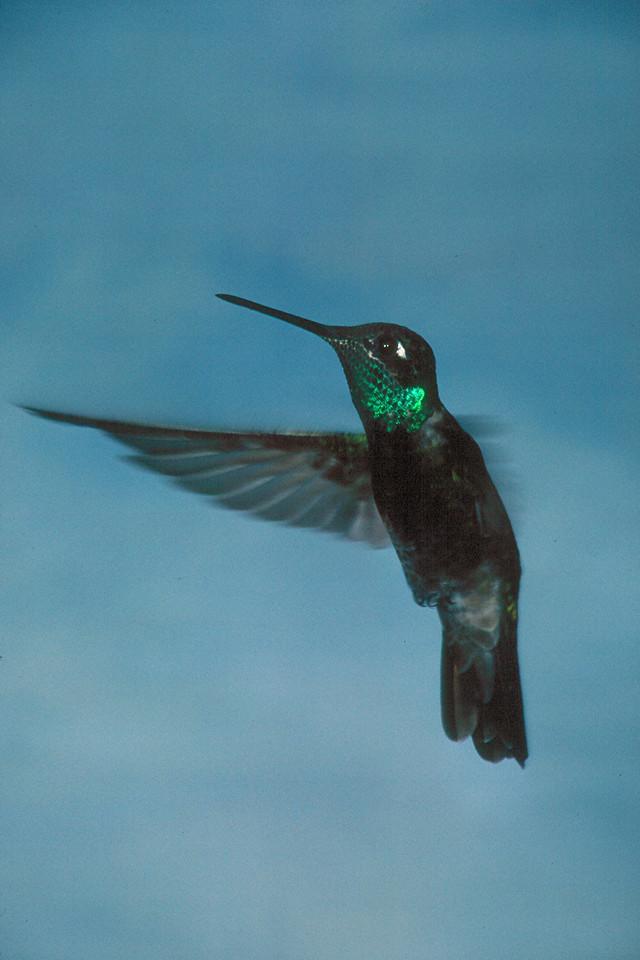 Magnificent Hummingbird, male - Ramsey Canyon, Arizona