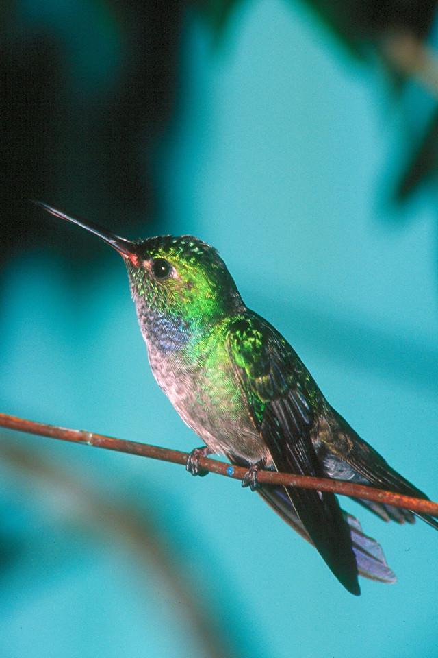 Blue-chested Hummingbird, male - Soberania National Park, Panama