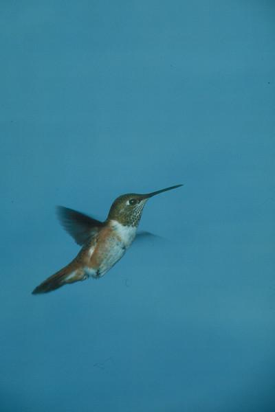Rufous Hummingbird - Ramsey Canyon, Arizona