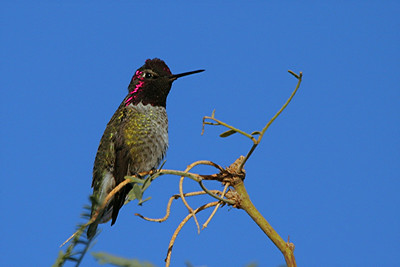 Costa's Hummingbird, male - Phoenix, Arizona