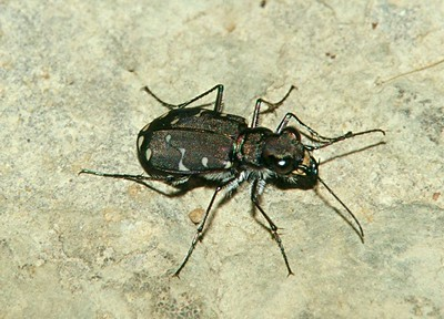 Brown Tiger Beetle - Pennsylvania
