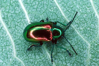 Dogbane Leaf Beetle - Pennsylvania