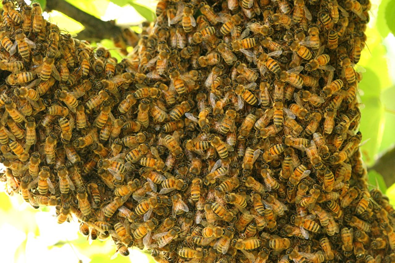 Honey Bee Swarm - Pennsylvania
