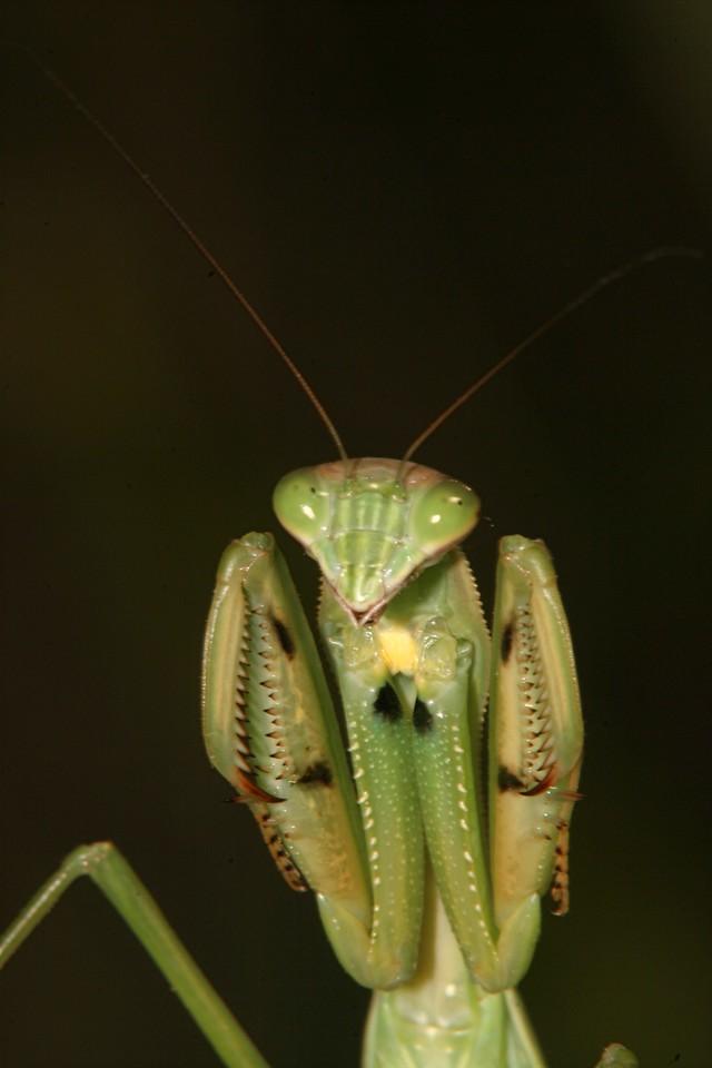 Praying Mantis - Pennsylvania