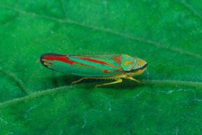 Scarlet and Green Leafhopper - Pennsylvania