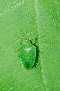 Green Stink Bug - Pennsylvania