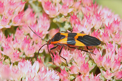 Large Milkweed Bug - Pennsylvania