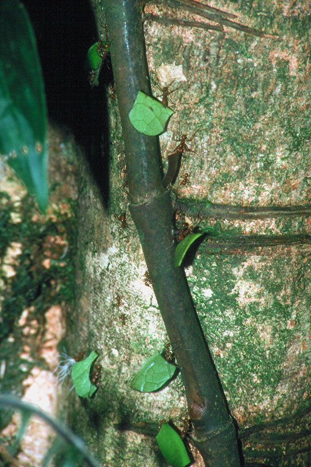 Leaf-cutter Ants - Costa Rica