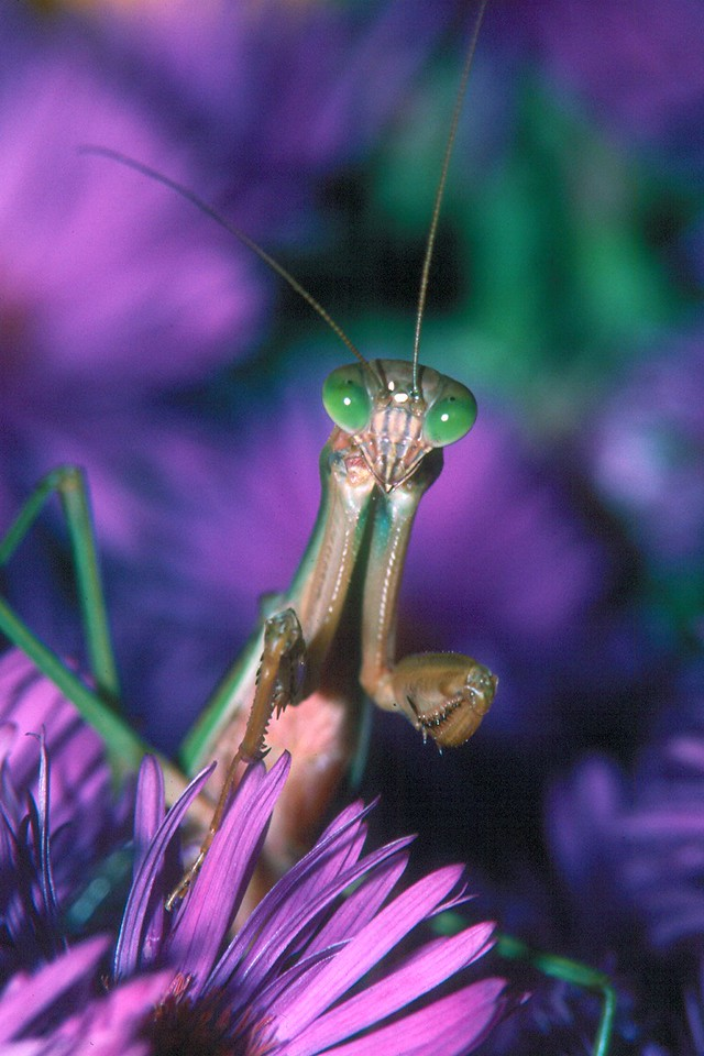Praying Mantis - Pennsylvania