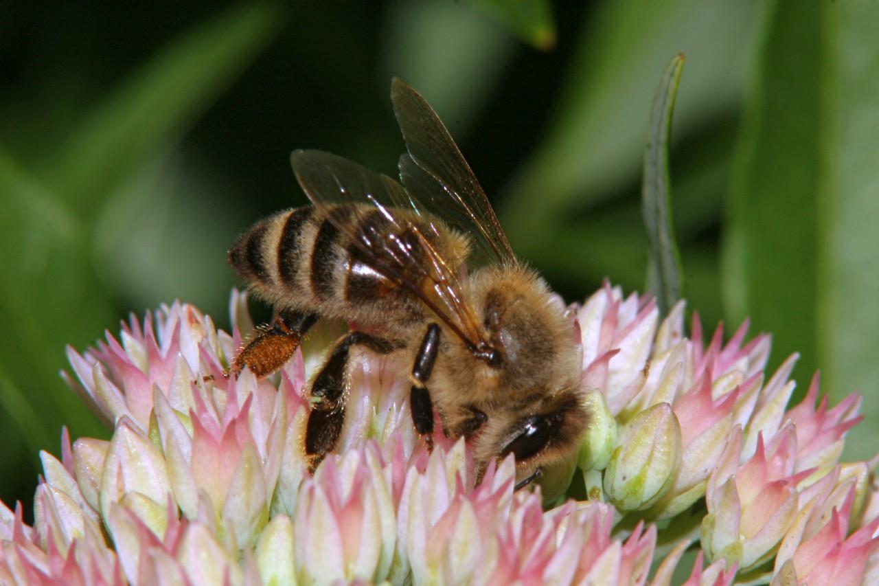 Honey Bee - Pennsylvania