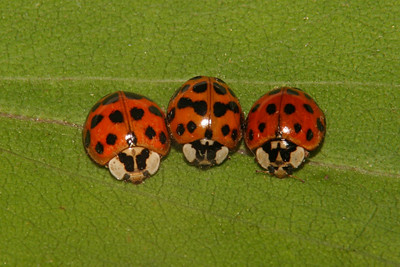 Asian Lady Beetles - Pennsylvania