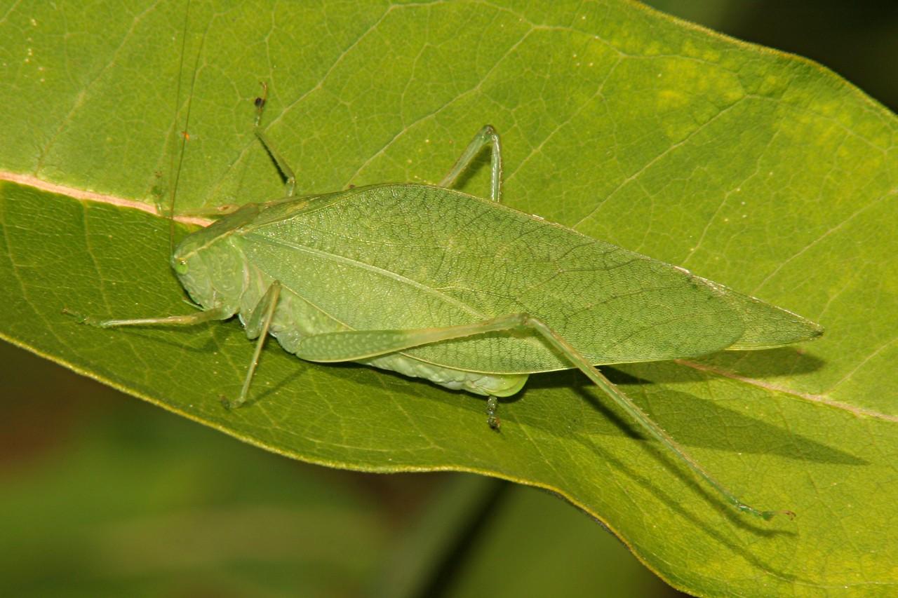 Angular-winged Katydid - Pennsylvania