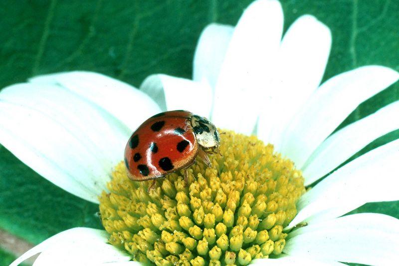Asian Lady Beetle - Pennsylvania