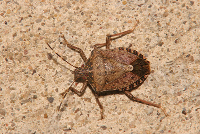 Brown Marmorated Stink Bug (Asian Stink Bug) - Pennsylvania
