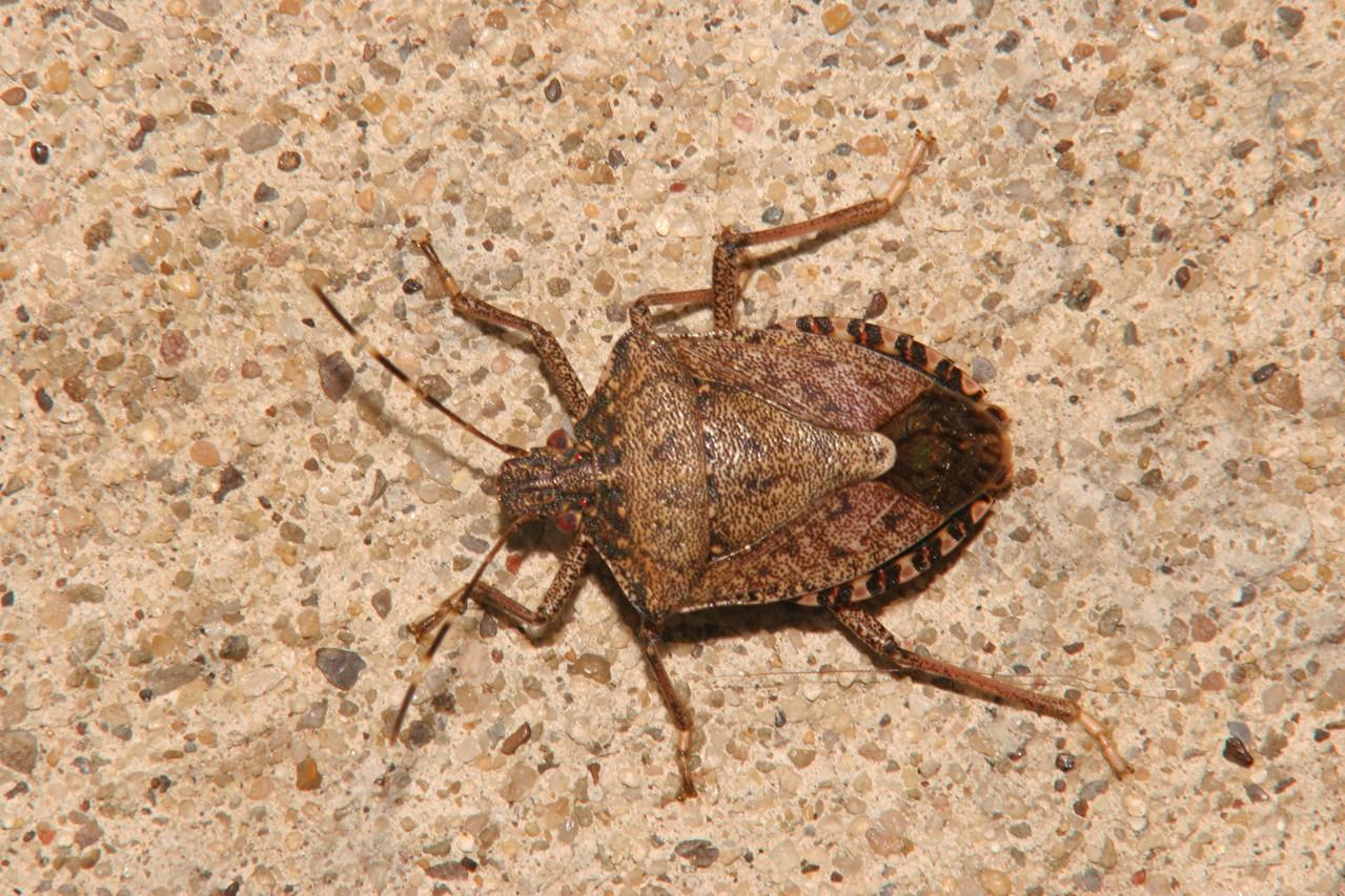 Brown Marmorated Stink Bug (Asian Stink Bug) - Pennsylvania