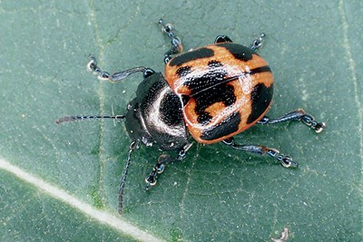 Swamp Milkweed Leaf Beetle - Pennsylvania