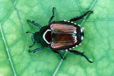 Japanese Beetle - Pennsylvania