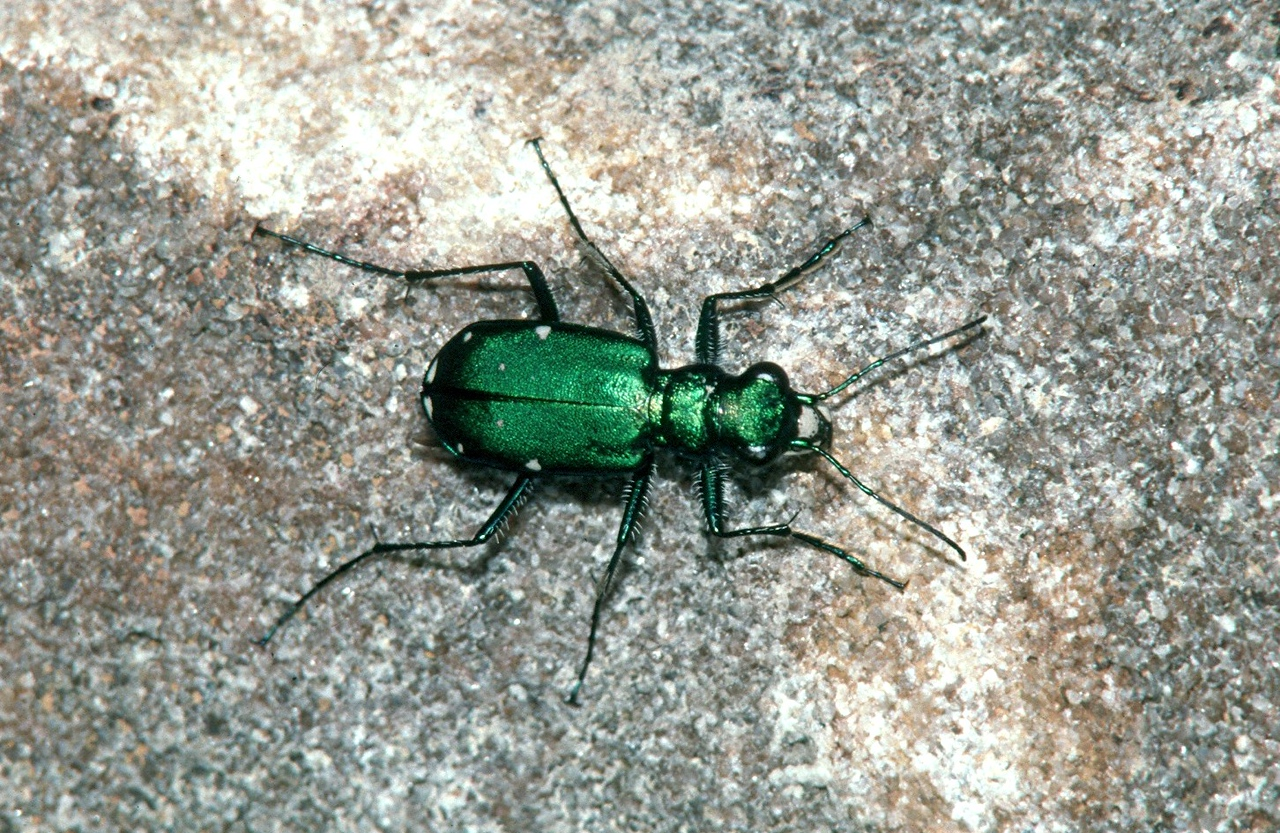 Six-spotted Green Tiger Beetle - Pennsylvania