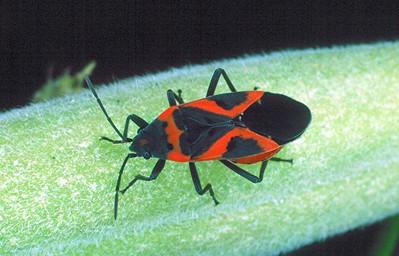 Small Eastern Milkweed Bug - Pennsylvania