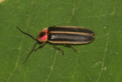 Pennsylvania Lightning Bug - Pennsylvania