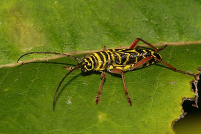 Locust Borer - Pennsylvania