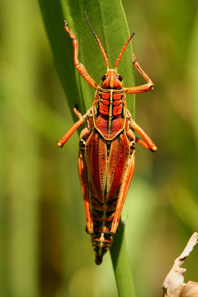 Lubber Grasshopper - Florida