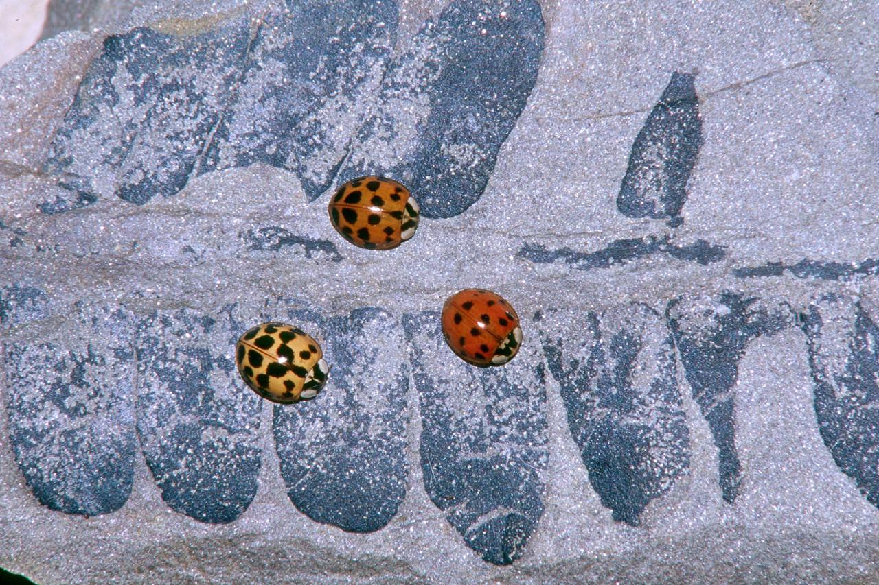 Asian Lady Beetles on Fossil Fern - Pennsylvania