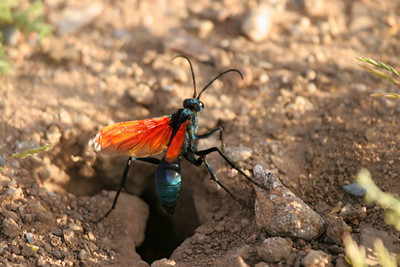 Tarantula Hawk - Arizona