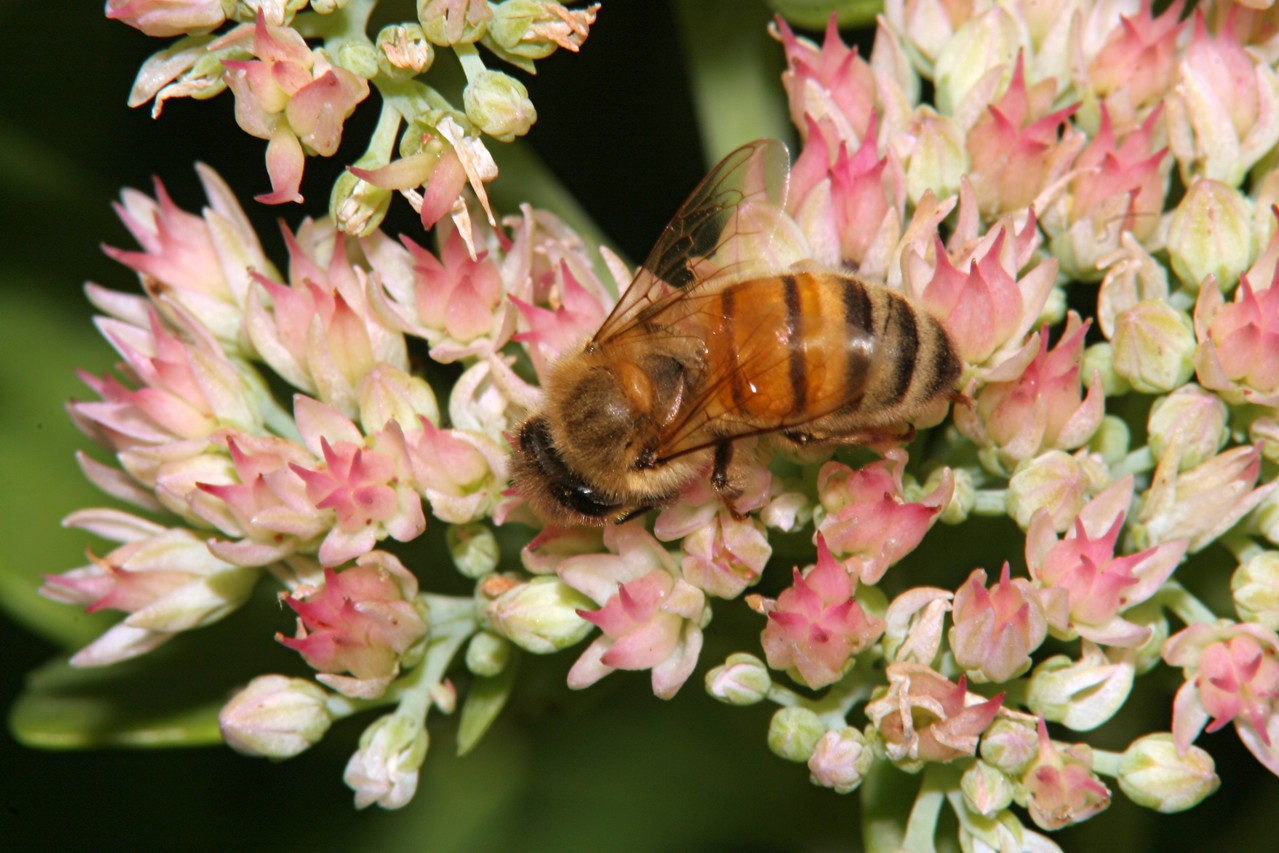 Honey Bee - Pennsylvania