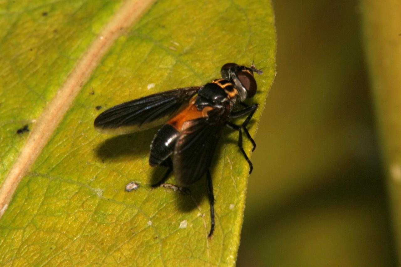 Tachina Fly - Pennsylvania
