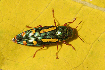 Metalic Wood Boring Beetle - Pennsylvania