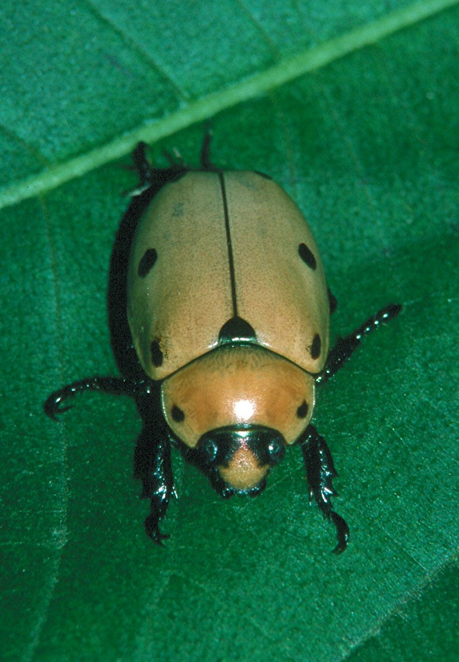 Grapevine Beetle - Pennsylvania
