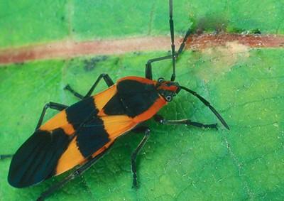 Large Milkweed Bug - Pennsylvania