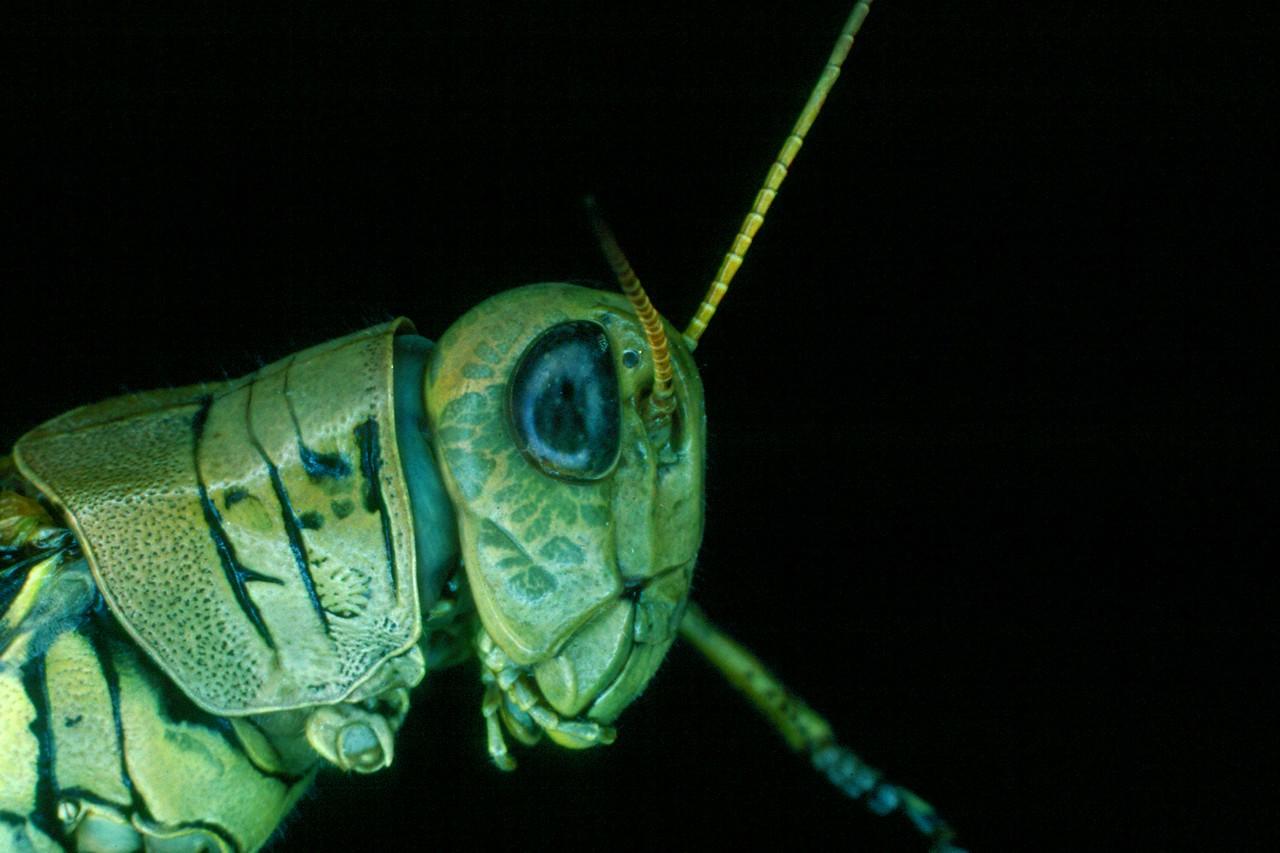 Differential Grasshopper - Pennsylvania
