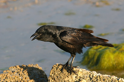 Fish Crow - Florida