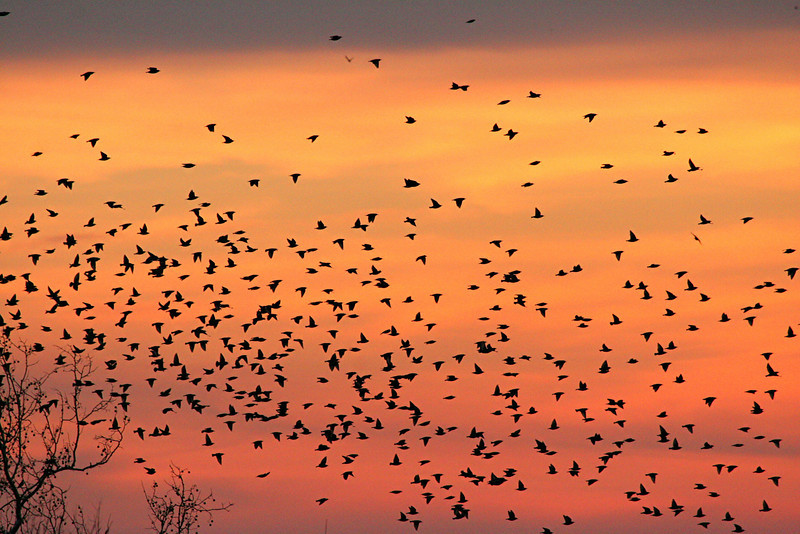European Starlings - Pennsylvania