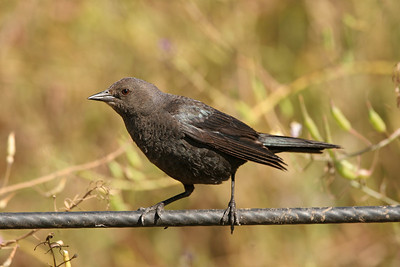 Brewer's Blackbird, female - California