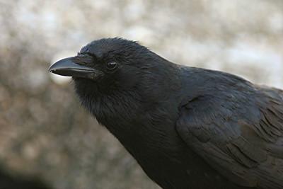 Fish Crow - Florida