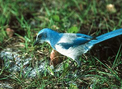 Florida Scrub Jay - Florida