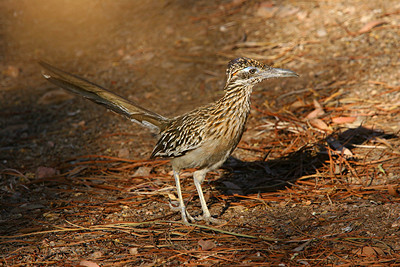 Greater Roadrunner - Arizona
