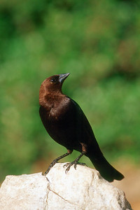 Brown-headed Cowbird, male - Pennsylvania