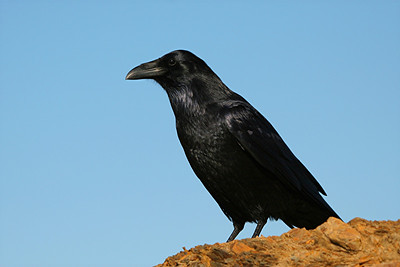 Common Raven - california