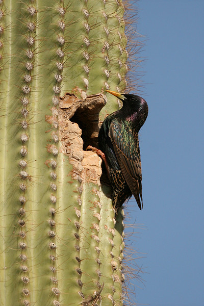 European Starling - Arizona