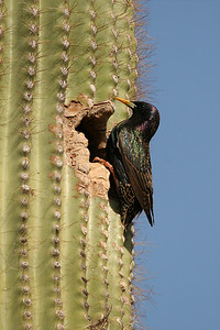 European Starling - Arizona