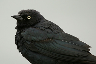 Brewer's Blackbird - California