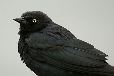 Brewer's Blackbird - California