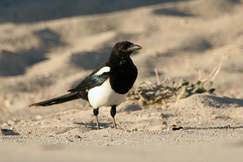 Black-billed Magpie - Utah